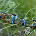 Four Kingfishers On Branch by Produced by Oliver C Wright