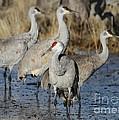 Four Sandhill Cranes by Sabrina L Ryan