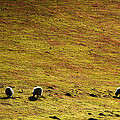 Four Sheep by Svetlana Sewell