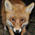 Fox by Alexa Alexandru-Michael