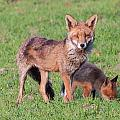 Fox And Baby by Dawn OConnor