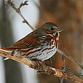 Fox Sparrow by Bruce J Robinson