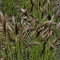 Fox Tail Grass by Grover Woessner