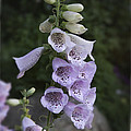 Foxglove by David Waldrop
