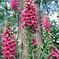 Foxglove Flowers by Georgette Douwma