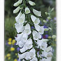 Foxglove II by David Waldrop