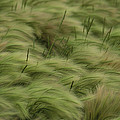Foxtail Barley And Western Wheatgrass by Annie Griffiths