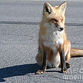 Foxy Lady In The Sun by Kathy Flugrath Hicks