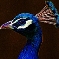 Fractalius Peacock by Chris Thaxter