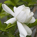 Fragrant White Gardenia Blossom by Kathy Clark