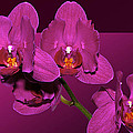 Framed Orchids by Phyllis Denton