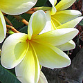 Frangipani Up Close by Debi Singer