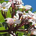Frangipanier - Plumeria - Ile De La Reunion - Reunion Island by Francoise Leandre