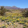 Franklin Mt. Poppies by Kurt Van Wagner