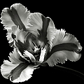 French Tulip In Black And White by Endre Balogh