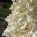 French Vanilla Hydrangea by Susan Herber
