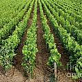 French Vineyard by Bernard Jaubert