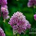 Fresh Chives by Susan Herber