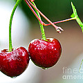 Fresh Wet Cherries by Kaye Menner