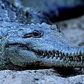 Freshwater Crocodile by Bruce J Robinson