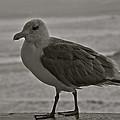 Friendly Gull by Eric Tressler