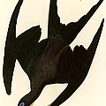 Frigate Bird by Pg Reproductions