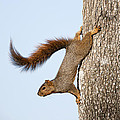 Frisky Little Squirrel With A Twirly Tail by Bonnie Barry