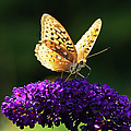 Fritillary Butterfly On Butterfly Bush, Near Madoc, Ontario, Canada by Janet Foster