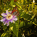 Fritillary On A Passion Flower  by Michael Ray