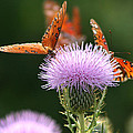 Fritillary Wings And Thistles by Kathy Clark