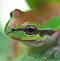Frog Close Up 1 by Mitch Shindelbower