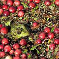Frog Peaks Up Through Cranberries In Bog by Matt Suess