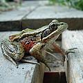 Frog by Sophia Petersen