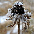 Frost And Snow On Dead Daisy by Kent Lorentzen