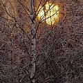 Frost-covered White Birch Trees by Raymond Gehman