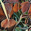 Frost On Leaves No. 2 by Janice Adomeit