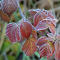 Frost On Leaves No. 3 by Janice Adomeit