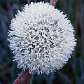 Frost On Mature Dandelion Blossom by Natural Selection Craig Tuttle