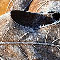 Frost On Oak Leaf by Christine Stonebridge