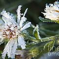Frostbite Flower by Darleen Stry