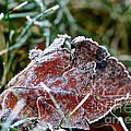 Frosted by Susan Herber