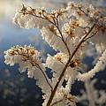Frosty Dry Wood Aster by Kent Lorentzen