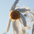 Frosty Flower by Ulrich Kunst And Bettina Scheidulin