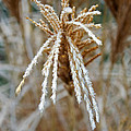 Frosty Fountain Grass by Jeff Galbraith