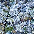 Frosty Leaves by Greg Vaughn