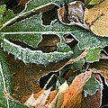 Frosty Leaves II by Barbara Northrup