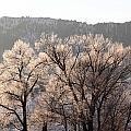Frosty Tree by Amara Roberts