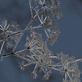 Frosty Weeds by Ericamaxine Price