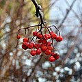 Frozen Mountain Ash Berries by Will Borden