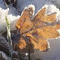 Frozen Oak Leaf by Steev Stamford